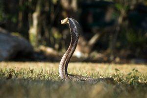 Kinijoje baimę pasėjo masinis kobrų pabėgimas