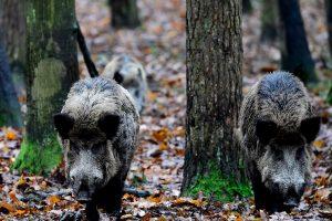 Sumedžiota daugiau kiaulių maru užsikrėtusių šernų
