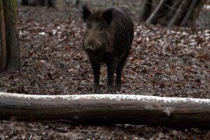 Kiaulių maras šernams negailestingas