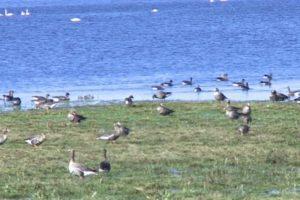 Nemuno deltoje ilsisi per šimtą tūkstančių žąsų