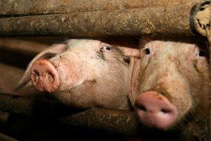 Kiaulių maras nustatytas ūkyje Anykščių rajone