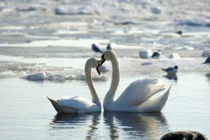 Paukščių gripas jau čia: Kaune rastos nugaišusios gulbės