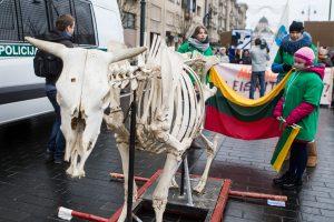 Pieno gamintojai į piketą atsivežė tik karvės griaučius