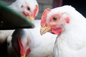 """""""KG Group"""" pradėjo eksportuoti paukštieną į Centrinę Aziją"""