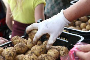 Ūkininkai planuoja auginti mažiau bulvių