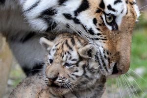 Kasmet nužudoma ir nelegaliai parduodama per 100 tigrų