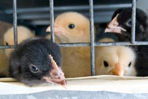 Danijos parduotuvėse nebeliks narvuose auginamų vištų kiaušinių