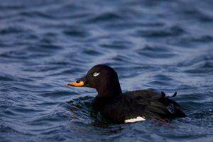 Įvairių šalių ornitologai Vilniuje tariasi, kaip apsaugoti nuodėgulę