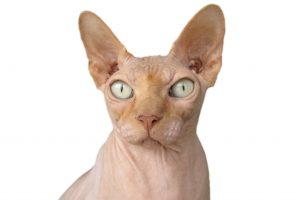 """Sfinksas – katė """"nudistė"""", išgarsėjusi komedijose"""