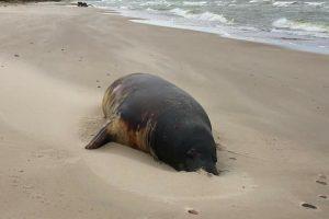 Baltijos jūroje – ruonių genocidas