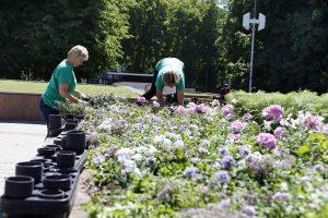 Miestą papuošė vasaros gėlės