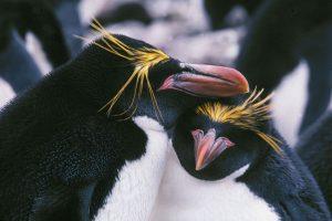 Antarktidos karališkieji pingvinai gali išnykti iki šio šimtmečio pabaigos