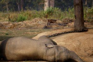 Palmių plantacijoje rasta nunuodyta nėščia dramblio patelė