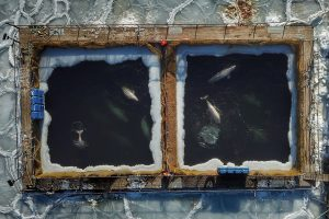 Rusijoje bandoma išvaduoti kone 100 banginių būrio žinduolių