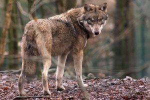 Pabėgęs vilkas sukėlė išgąstį