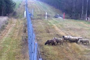 Neįprastas vaizdas: pasienį kirto avių būrys