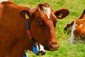 Pabėgusi ir po mėnesio sugauta karvė nugaišo iš streso