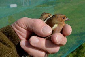 Bręsta naujas rekordas – jau sužieduotas šimtatūkstantasis paukštis