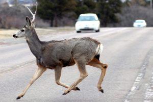 Padaugėjo automobilių susidūrimo su laukiniais gyvūnais atvejų: kaip išvengti?