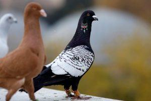 Norėjo laimėti: balandžių lenktynių dalyviai sukčiavo perveždami paukščius traukiniu