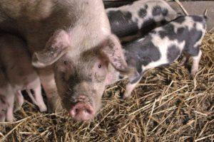 Nustatyti dar du afrikinio kiaulių maro židiniai