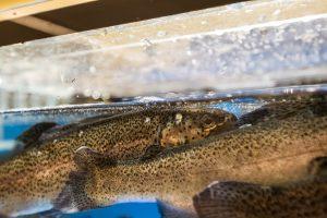 Lietuviai atsigręžia į ežerų žuvis – kaip teisingai jas paruošti?