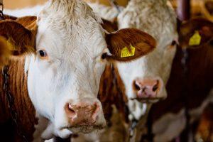 Veterinarijos tarnyba prašo teismo konfiskuoti ūkininko neprižiūrimus galvijus