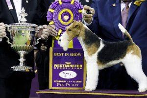 Prestižinį Niujorko šunų šou laimėjo šiurkščiaplaukis foksterjeras