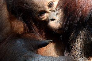 Orangutango tėvystės testas pateikė staigmeną