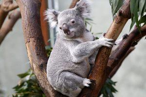 Mokslas suteikia vilties dėl nykstančių koalų