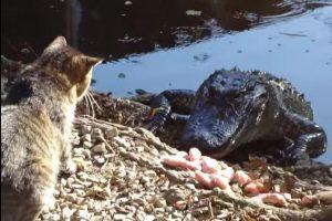 Neregėta drąsa: katė skelia antausį aligatoriui