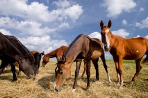 Inspektoriai stebi situaciją padidintos rizikos arklių ūkyje