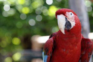 Patarimai, kaip išmokyti kalbėti mėlynkaktę amazonę