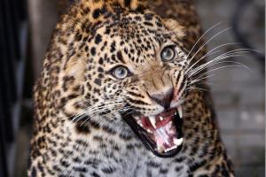 Jutos zoologijos sode pabėgęs leopardas privertė lankytojus slėptis