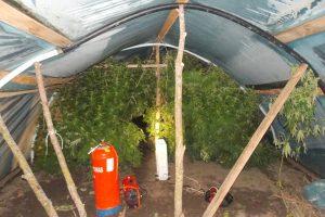 Tauragės policija sužlugdė šeimos kanapių verslą