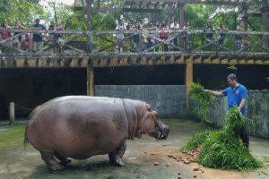Filipinuose nugaišo seniausia pasaulyje begemotė