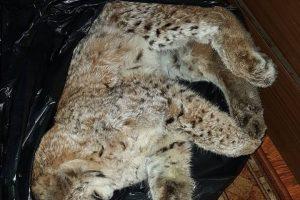 Sulaikyti pasieniečiai, įtariami neteisėta lūšių medžiokle (vaizdo įrašas)