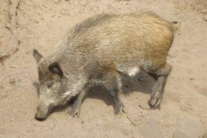 Druskininkų savivaldybėje – pirmas maru užsikrėtęs šernas