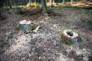 Molėtų rajone neteisėtai iškirstas miškas ir pavogta mediena