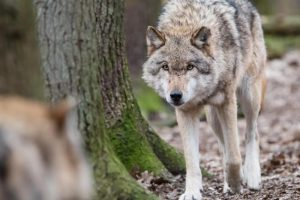 Parlamentaras: vilkų padarytą žalą turėtų atlyginti Aplinkos ministerija