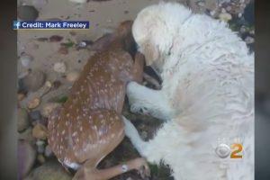 Niujorke šuo išgelbėjo skęstantį elnio jauniklį