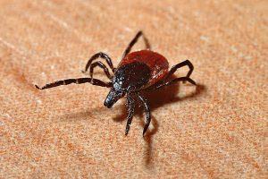 Kada geriausia skiepytis nuo erkių ligų?