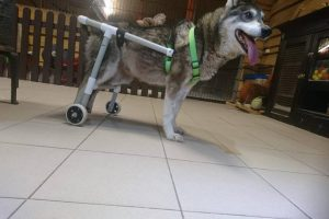 Likimo nuskriaustas šunelis su ratukais džiaugiasi galimybe vaikščioti