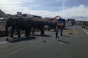 Ispanijoje apvirto cirko sunkvežimis su drambliais