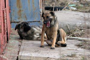 Problema Klaipėdoje – palaidi šunys