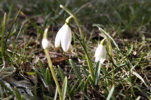 Šalčio šuoras – grėsmė augalams