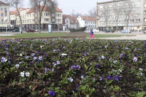 Klaipėdos miestui – madingi gėlynai