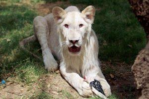 Klaipėdos zoologijos sode – baltieji liūtai