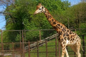 Lietuvos zoologijos sodo žirafa gyvens geriau
