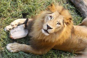 Danijoje moksleiviai stebės numarinto liūto skrodimą